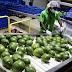 En Cambita, San Cristóbal, continúan exportando aguacates y vegetales, ahora un poco menos, por la guerra al Coronavirus