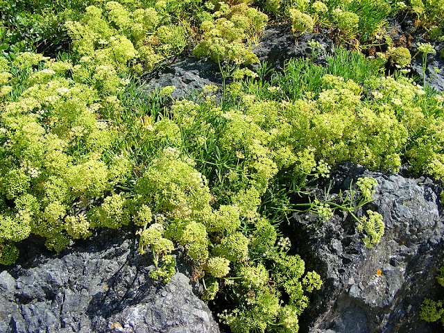 Rock Samphire Crithmum maritima. Pyrenees-Atlantiques.  France. Photographed by Susan Walter. Tour the Loire Valley with a classic car and a private guide.