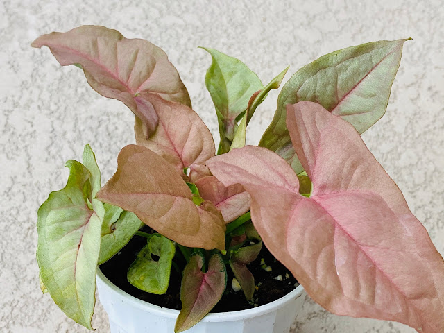 Syngonium Neon Robusta plant from Bella Succulent Shop
