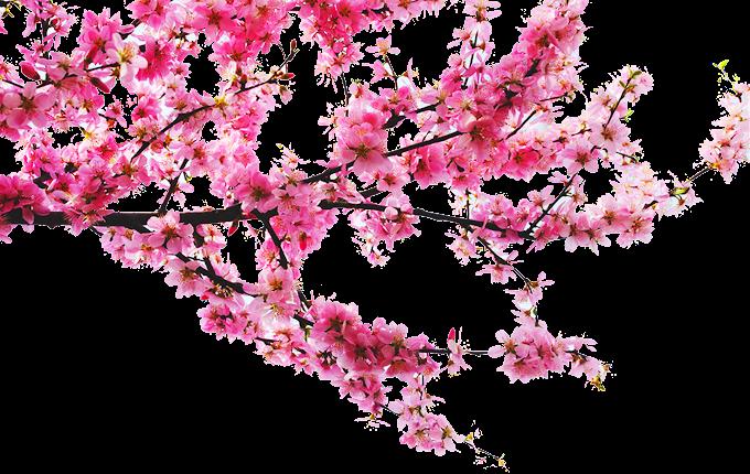 flor de cerezo, durazno, ramas de durazno, rama de árbol, rama png by: pngkh.com