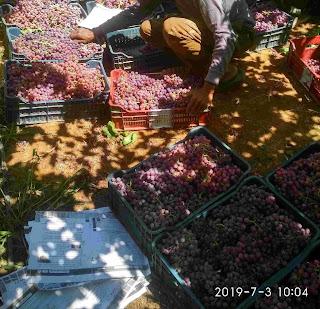 دراسة جدوى زراعة 5 فدان عنب في الأراضي الصحراوية 2021 | زراعة العنب في الأراضي الصحراوية | مناطق زراعة العنب في مصر