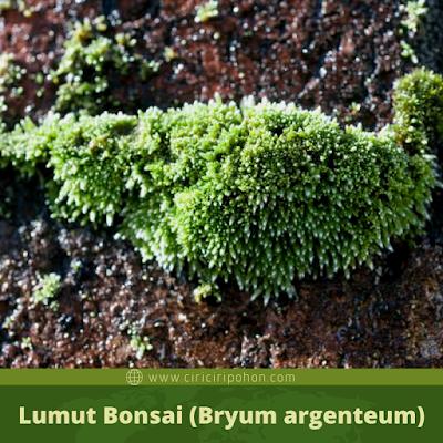 Lumut Bonsai (Bryum argenteum)