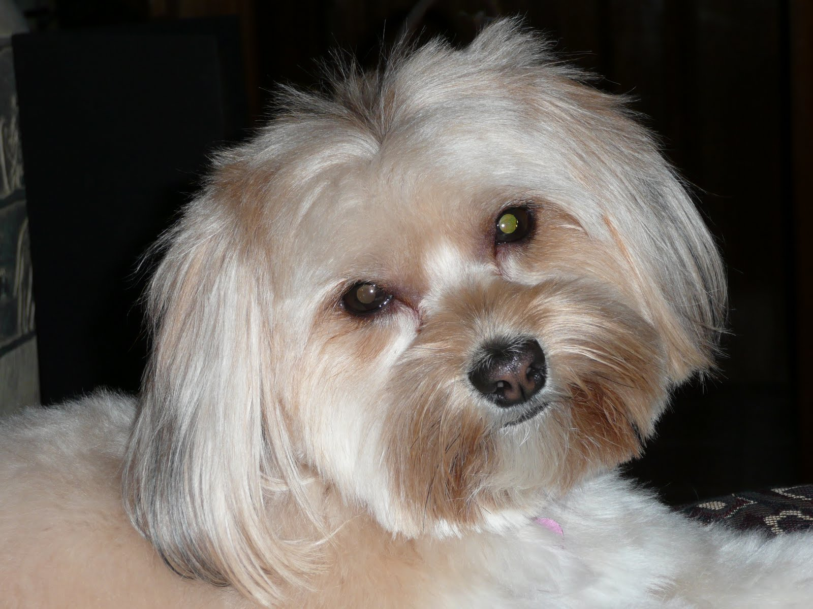 yorkie and maltese yorkie maltese mix dog training home dog types 6804