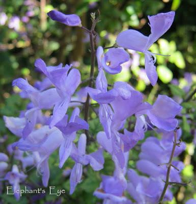 Stoep jacaranda flower