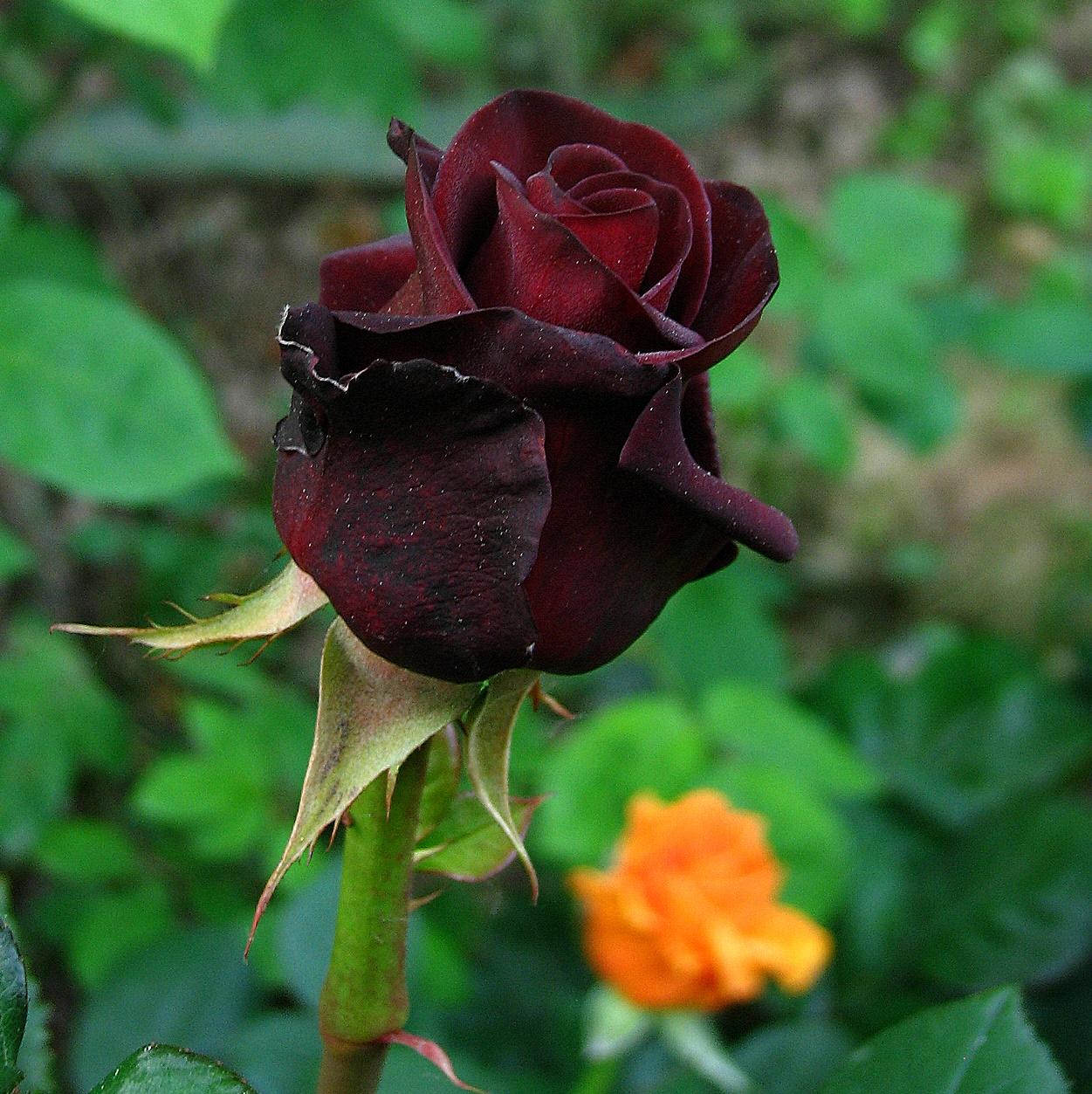 Lorto Dei Colori Rose Mattutine