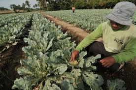 1,2 Hektar Tanaman Brokoli Diserang Hama