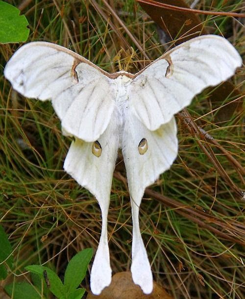 Luna Moth | A-Z List of 125 Rare Albino Animals [Pics]
