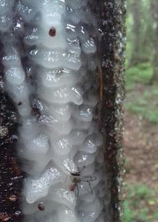 pihka metsä kuusi