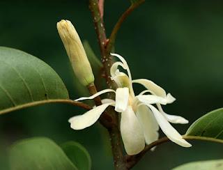 ดอกจำปีสิรินธร จำปีเฉพาะถิ่นไทย ไม้มงคล