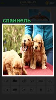 на столе сидят щенки спаниеля, их держит собаковод