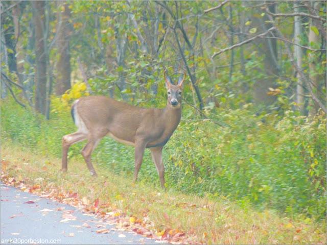 Fauna de Maine VIsta desde el Coche durante el Puente por Columbus Day