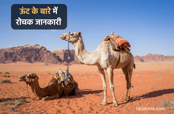 information about camel in hindi