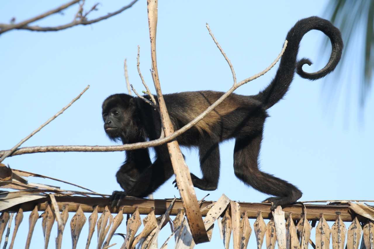 Julie Zickefoose On Blogspot Wild About Howler Monkeys