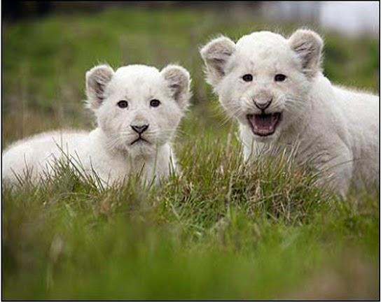 Anak Singa Putih yang Lucu