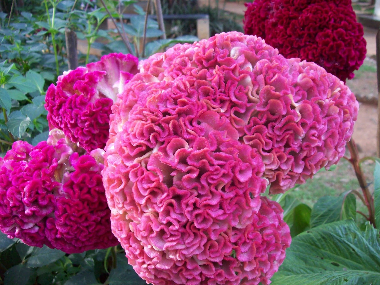 Flowers all over the world euffslemani beautiful from all over the world gardentropics today s flowers izmirmasajfo