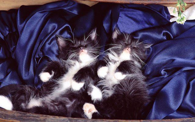 Twee slapende katjes