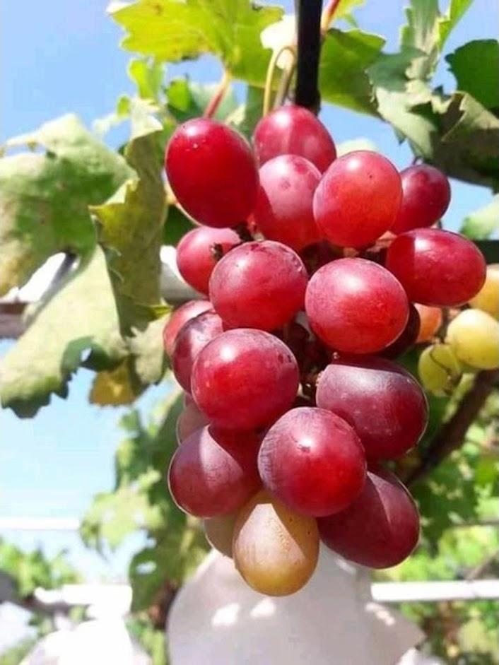 Bibit Buah Anggur Super Unggul Jawa Tengah