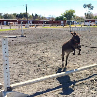 Miniature donkey jumping