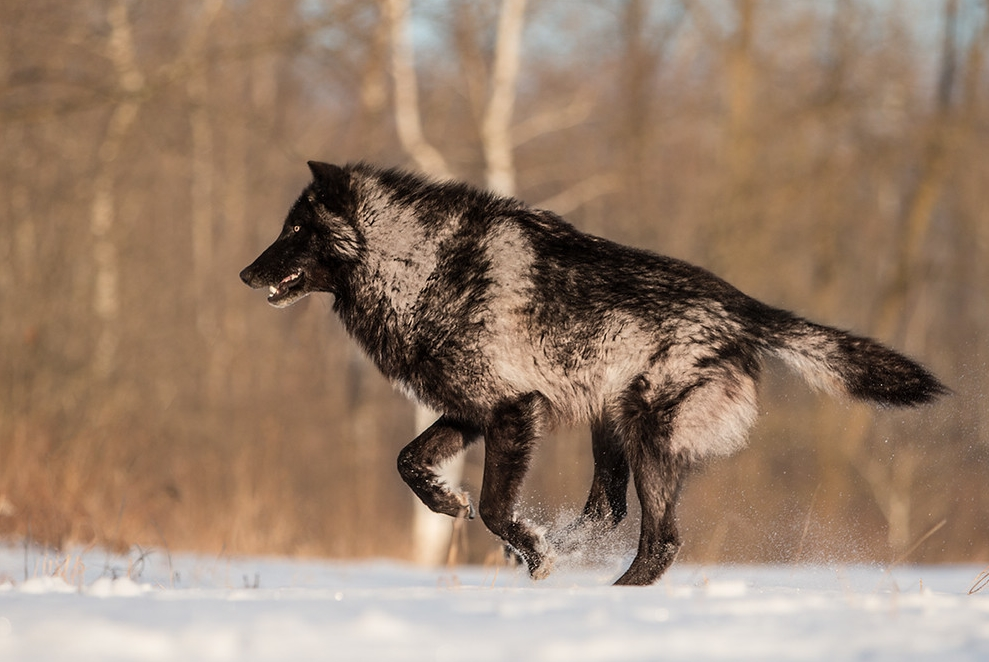 White wolf perfect timing photos a close encounter with a perfect timing photos a close encounter with a minnesota black wolf sciox Images