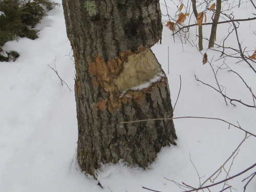 large tree chewed by beaver