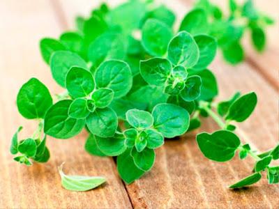 tanaman herbal untuk dapur