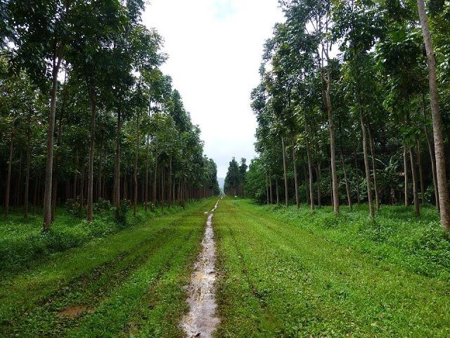महोगनी पेड़ की जानकारी, खेती, लाभ, फायदा, उपयोग।