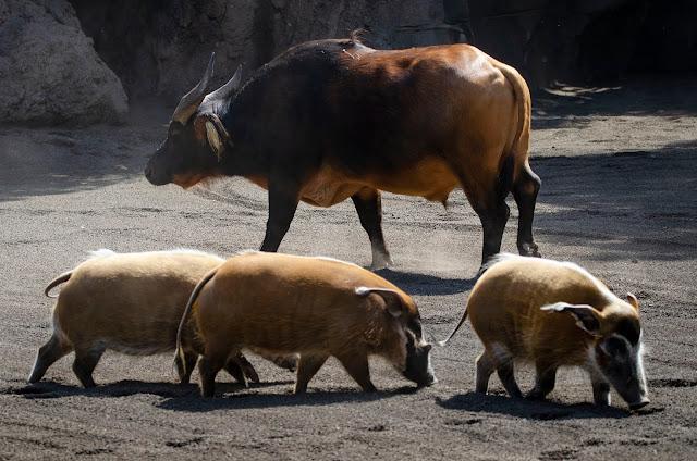 Bufalo y 3 potamoqueros
