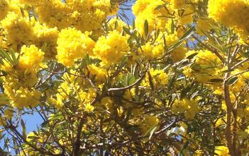 Pohon Tabebuya Melalui Semai Biji