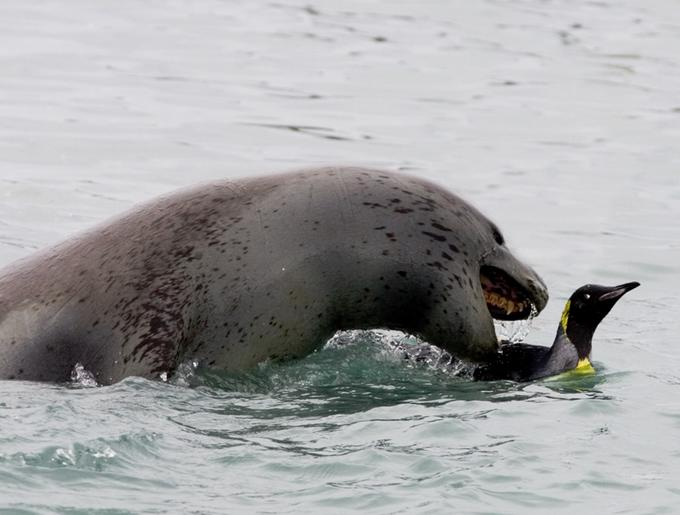 What Eats Ringed Seals