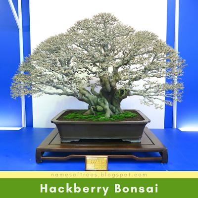 Hackberry Bonsai
