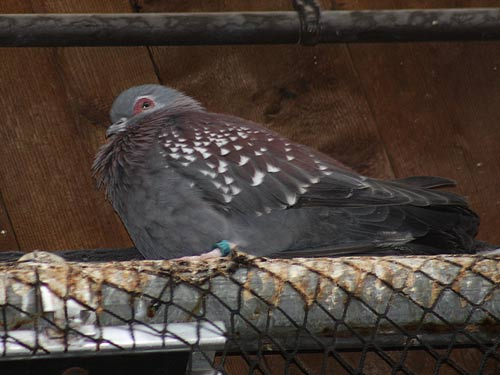 Triangular Spotted Pigeon