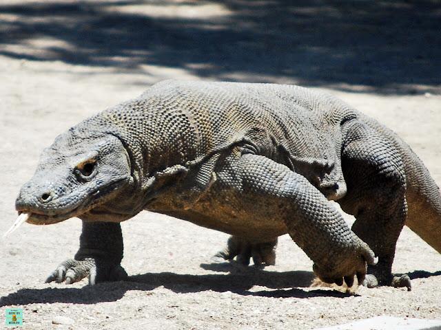 Dragón de Komodo, Indonesia