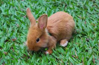 deskripsi hewan kelinci kecil bahasa Inggris