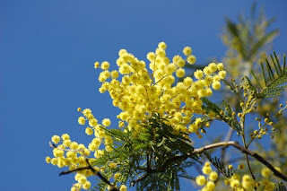 Yellow mimosa flowers (pic: Pixabay)