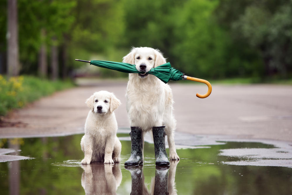 Two dogs in a puddle shutterstock_421092781.jpg