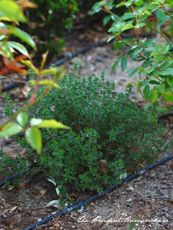Bush Variety Lemon Meyer