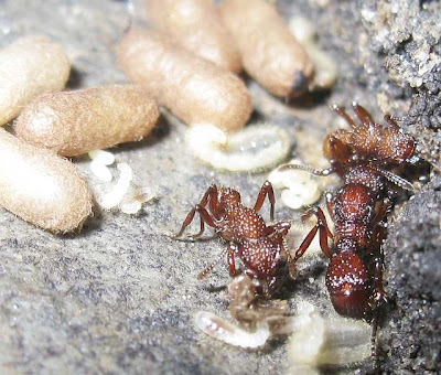 Nest of Gnamptogenys costata ant showing queen, workers, eggs, larvae and pupae