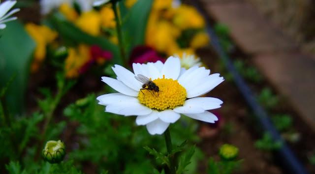 ノースポールの蜜を吸う蜂