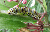 Monarch caterpillar with more white stripes - © Denise Motard