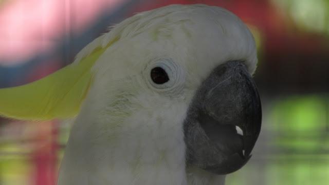 Burung Kakaktua di Mini Zoo Kijang