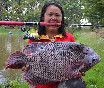 13 Umpan Ikan Gurame Ampuh Dan Terbukti