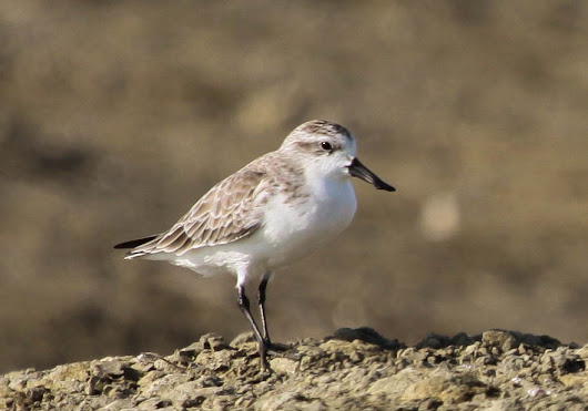 Our top 7 Wader or Shorebirds projects