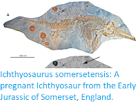 http://sciencythoughts.blogspot.co.uk/2017/09/ichthyosaurus-somersetensis-pregnant.html