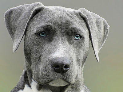 A blue American Staffy with pale blue eyes starts off into the distance