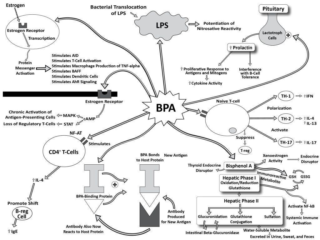 Skema diagram mekanisme patogenesis patofisiologi hubungan BPA Bisphenol-A dengan kelainan penyakit autoimun plastik autoimunitas, estrogen reseptor, protein messenger T-cell CD4 Antigen presenting cells, bacterial translocation