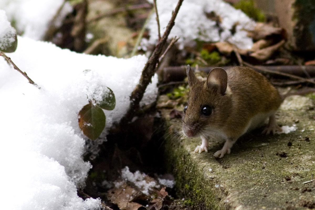 Weedon S World Of Nature Garage Door Mouse