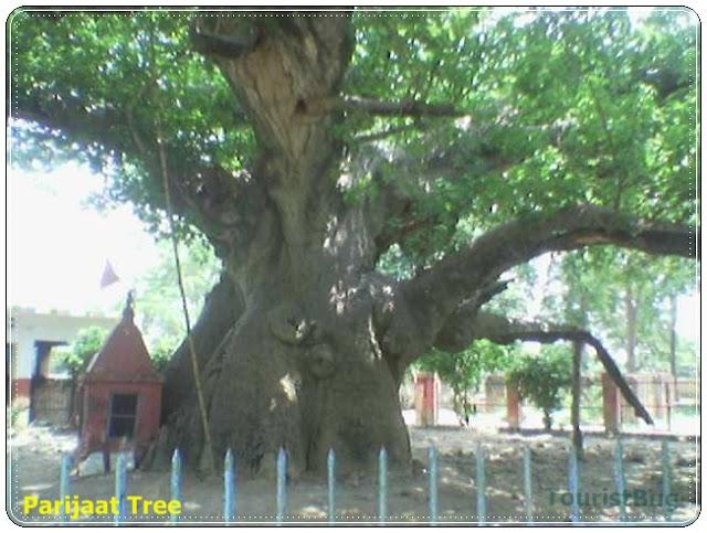 Kalpavrisha Tree or Kalptaru