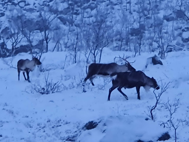 Renifery w Tromso