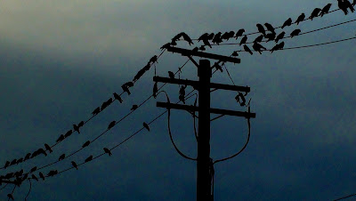 Dozens of crows on powerlines against the night sky