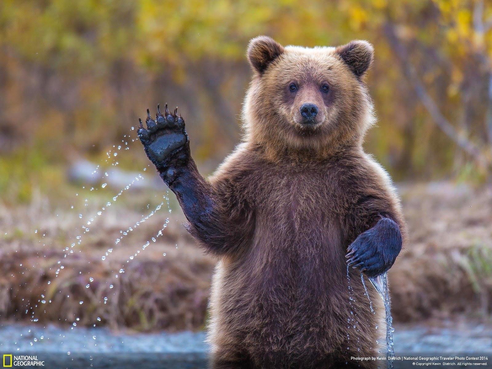 Funny Cute Bear Waving Hand Photo